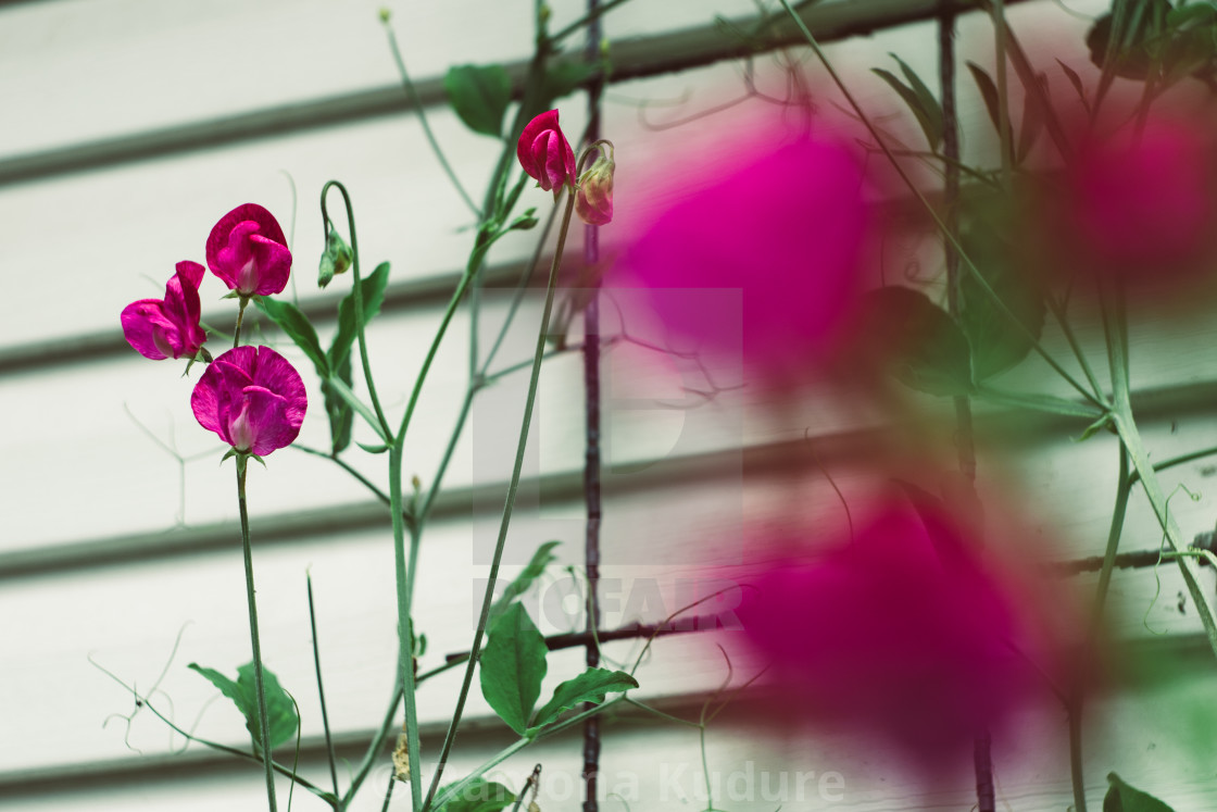 """Sweet Peas"" stock image"