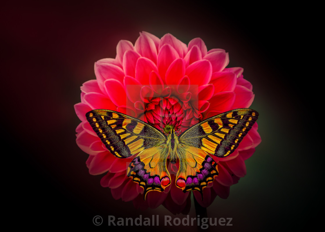 """""""Sweet Butterfly"""" stock image"""