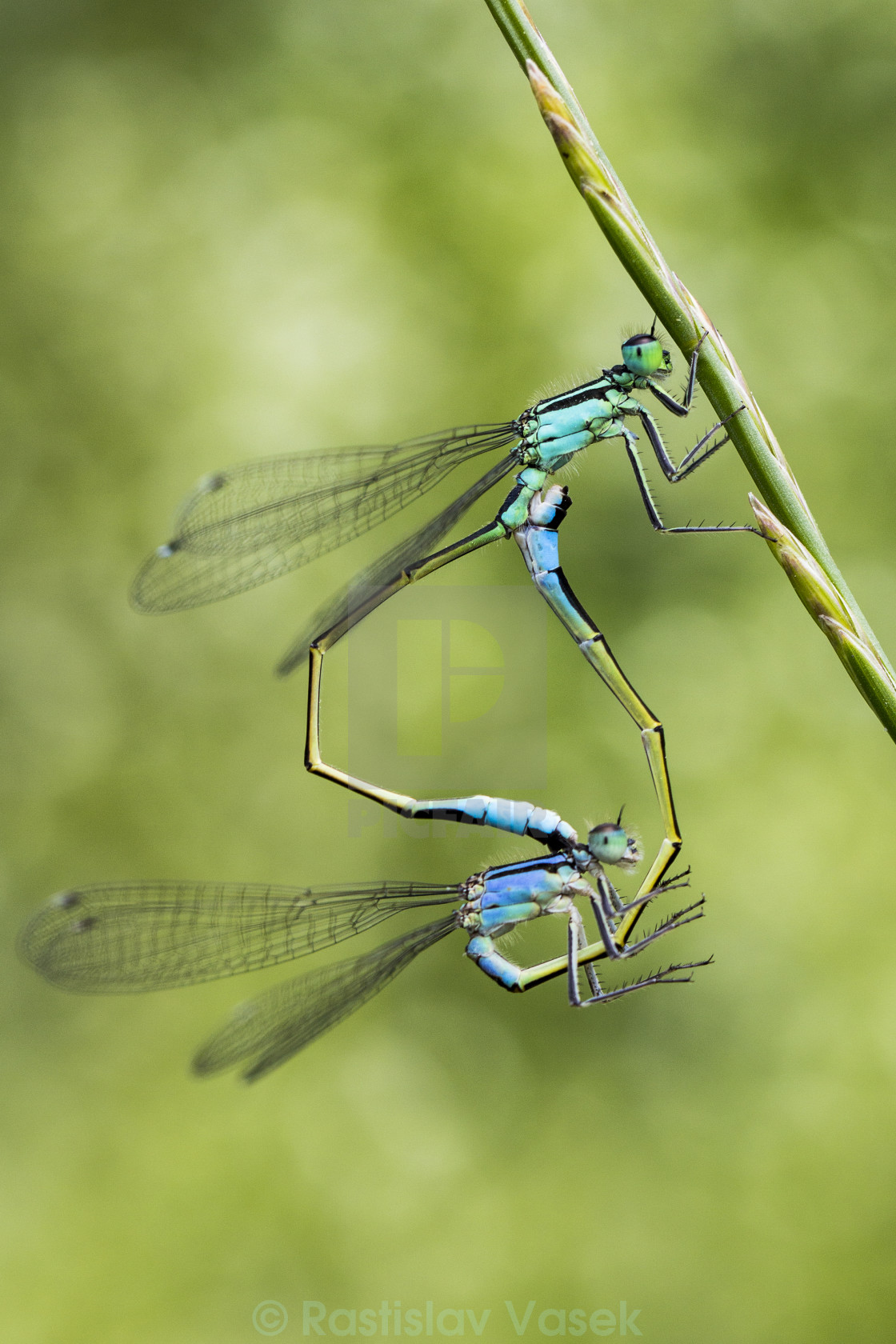 """Dragonflies mating"" stock image"