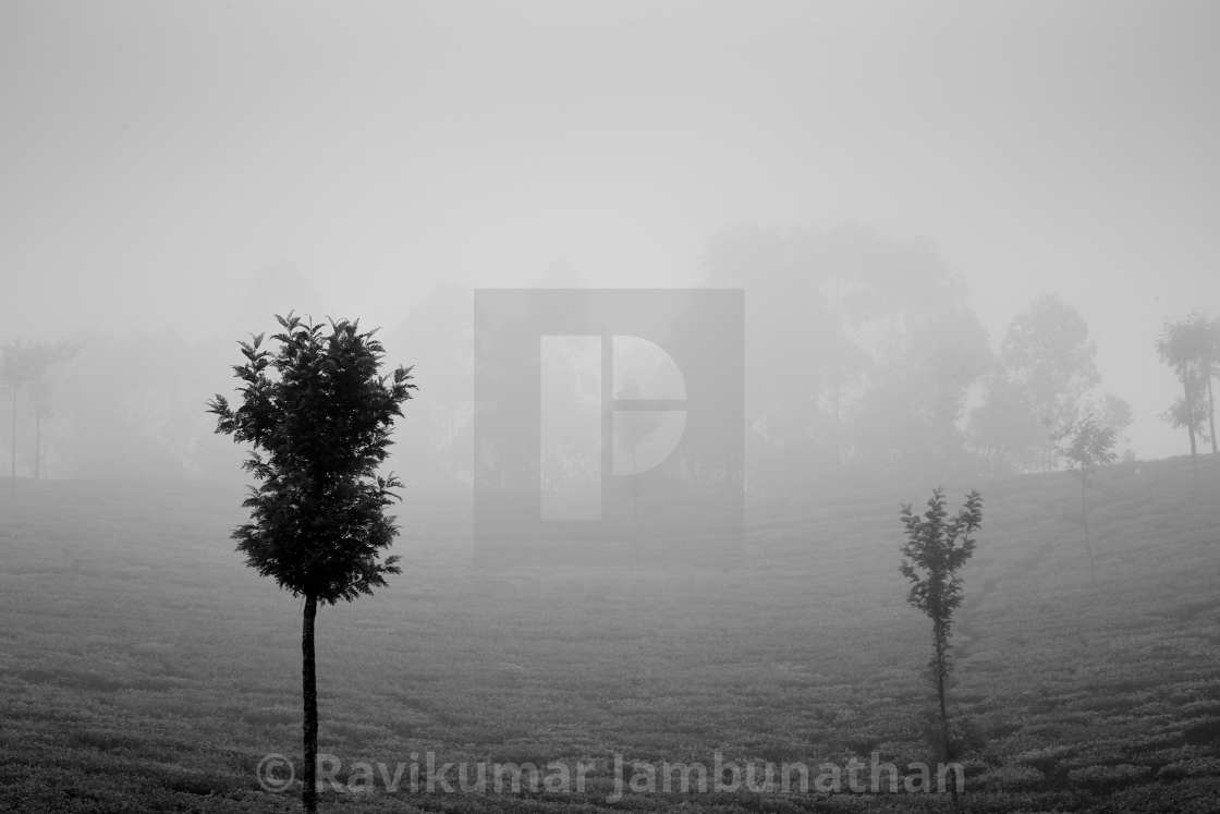 """Light, Mist and Trees - Study 3"" stock image"