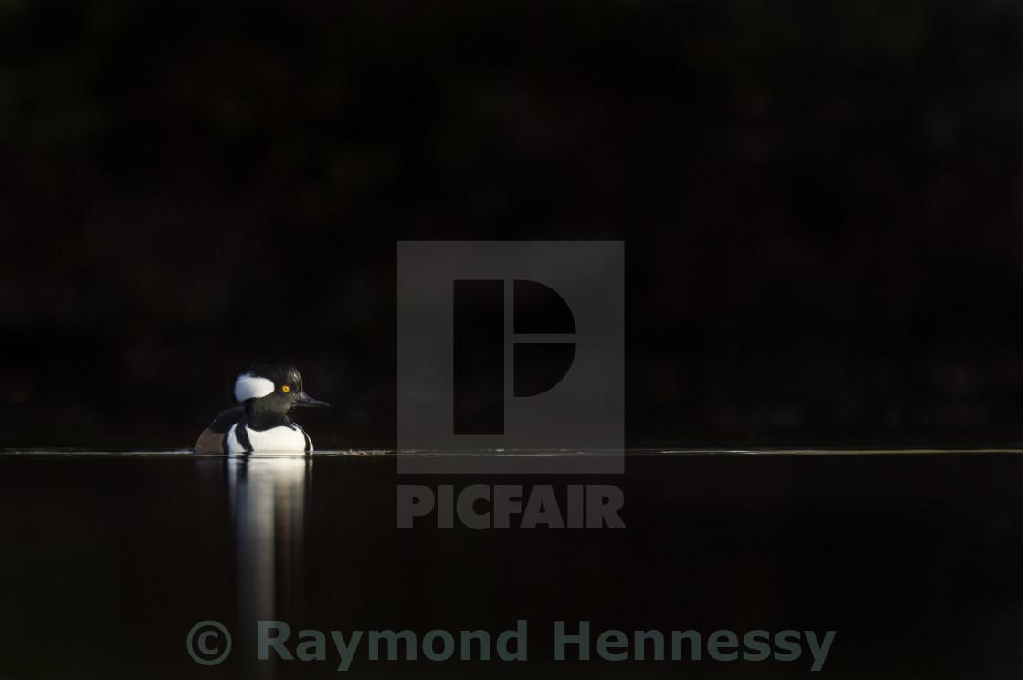 """""""Hooded Merganser on Black"""" stock image"""