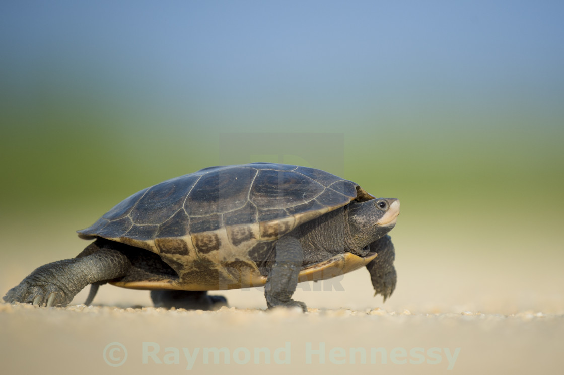 """Walking Diamond Back Terrapin"" stock image"