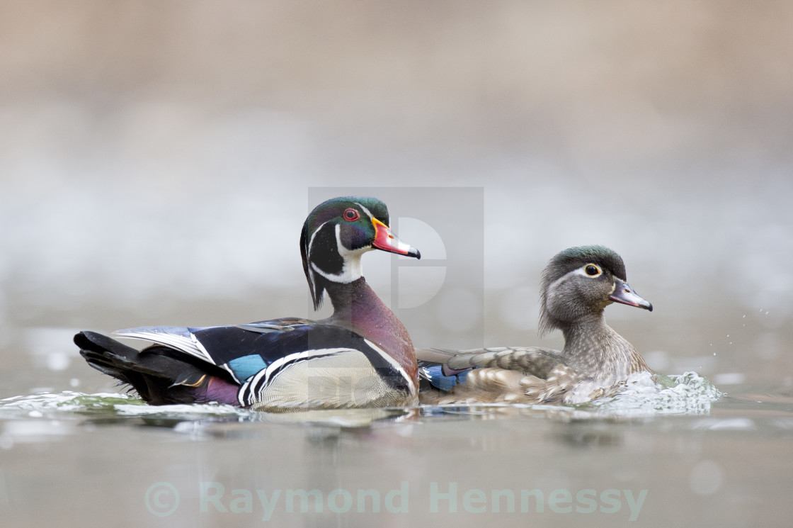 """Wood Duck Pair"" stock image"
