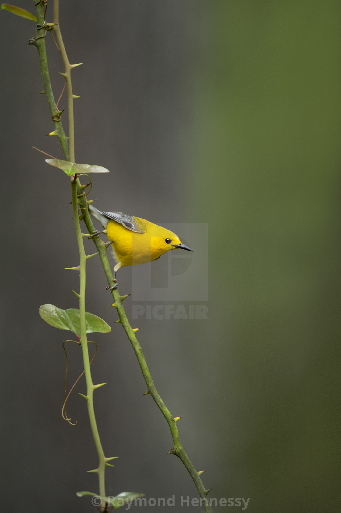 """""""Prothonotary and Thorns"""" stock image"""