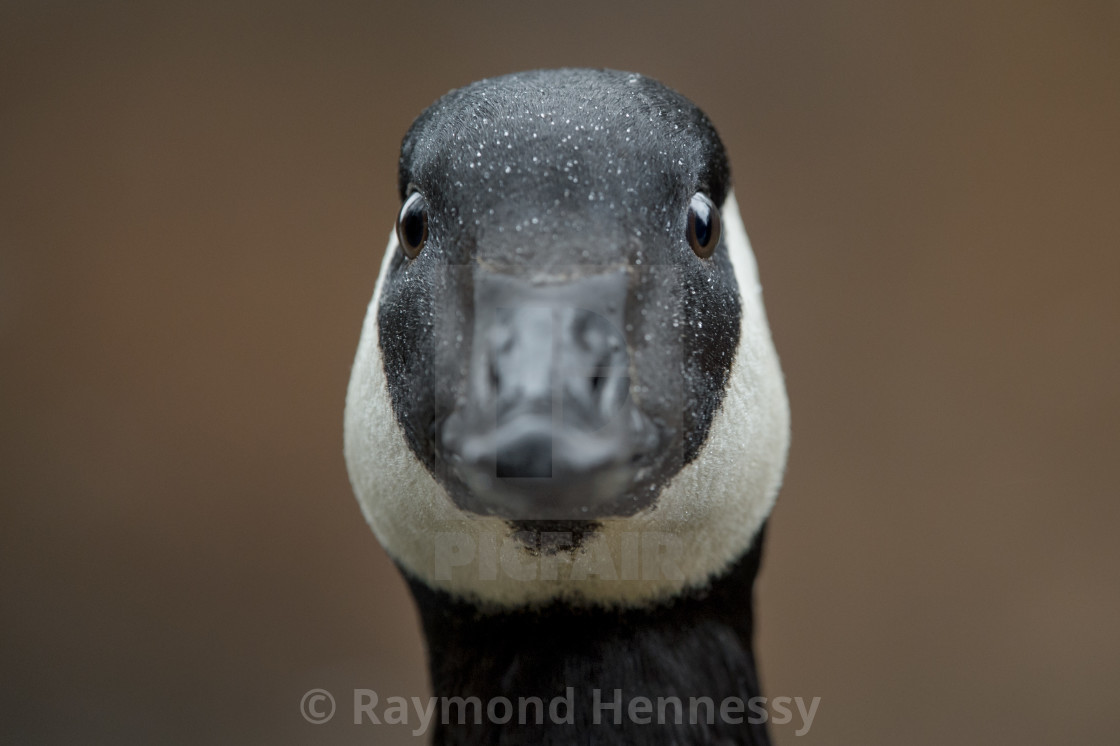"""""""Silly Goose"""" stock image"""