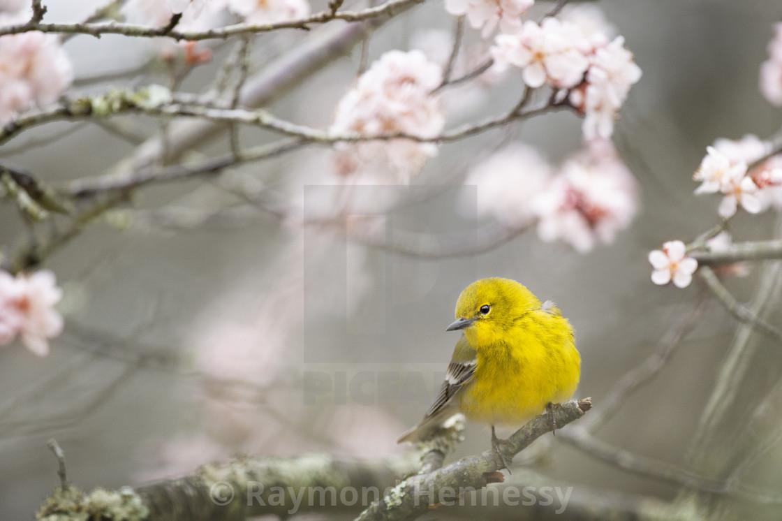 """""""Spring Pine Warbler"""" stock image"""