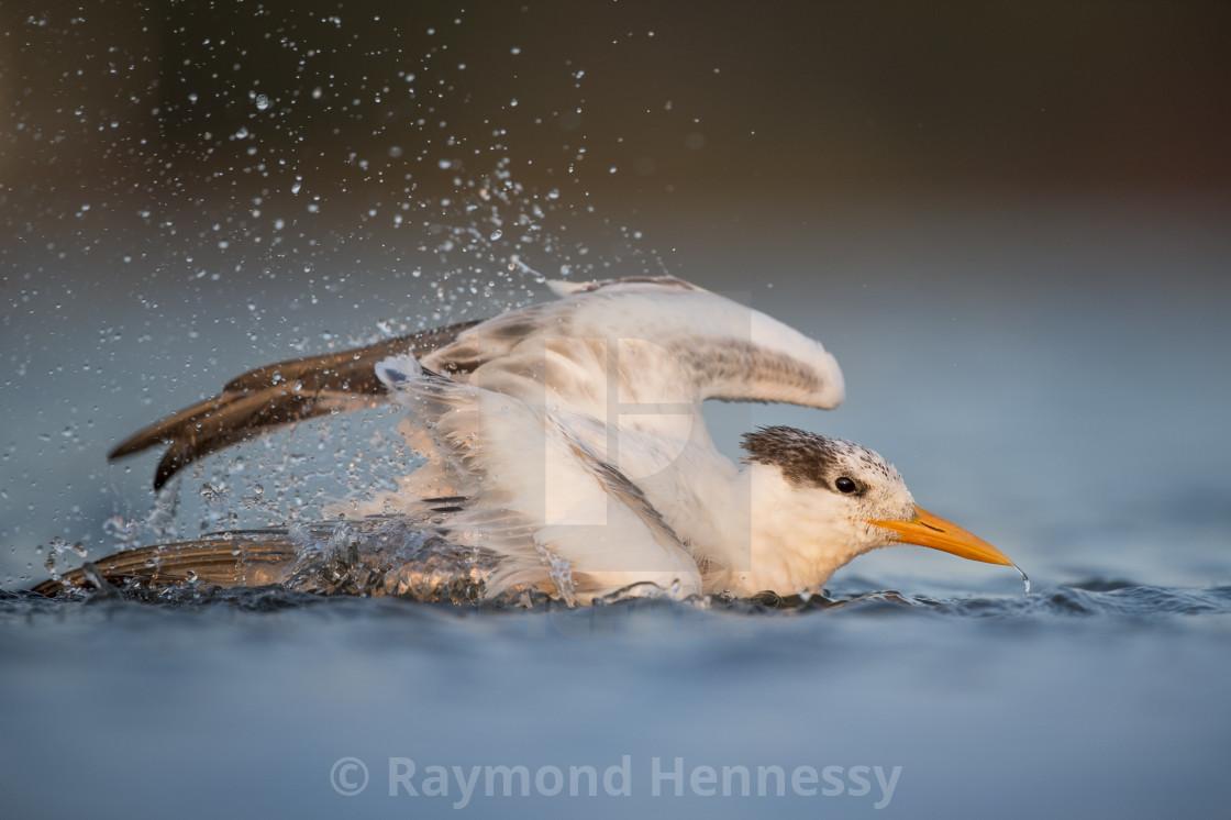 """Sunset Tern Bath"" stock image"