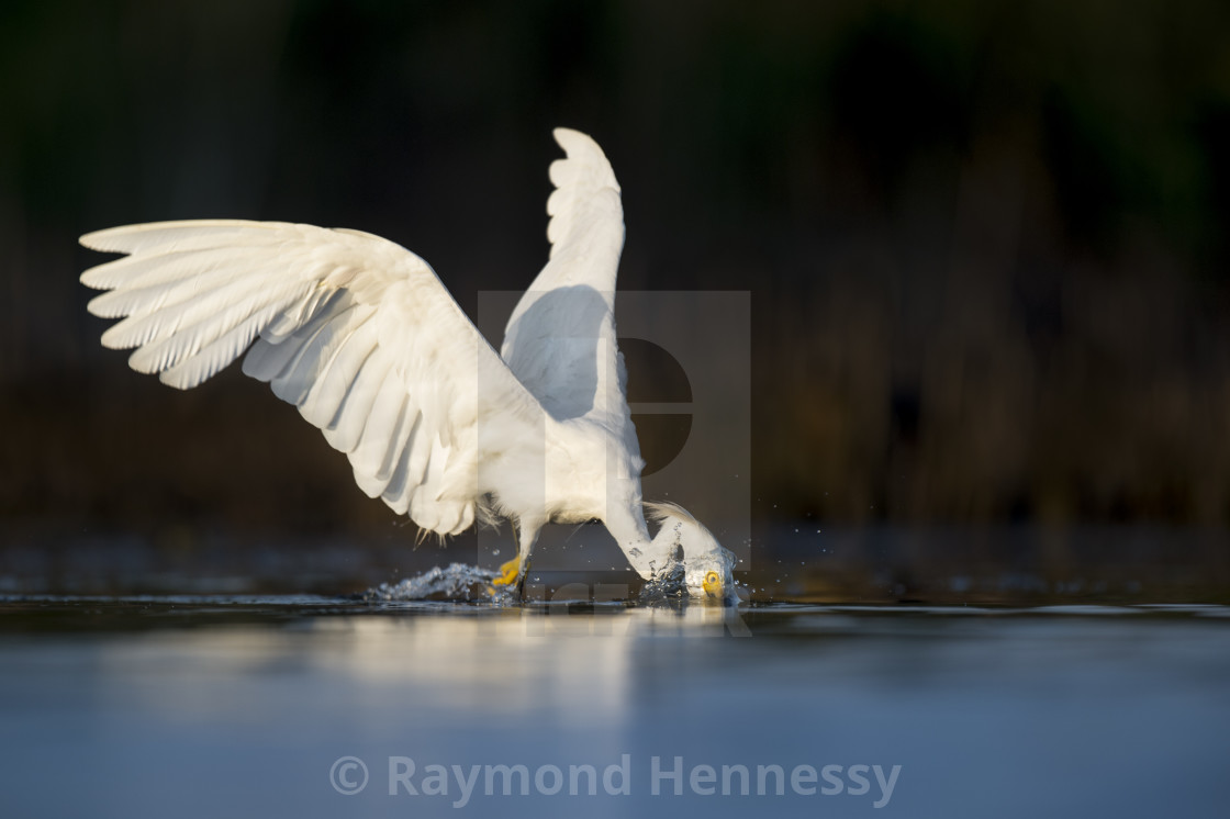 """""""The Snowy Egret Chase"""" stock image"""