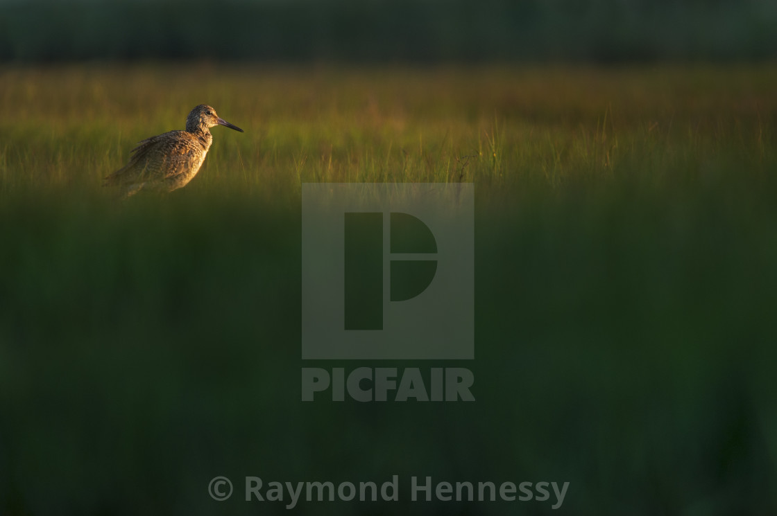 """Willet in the Morning Marsh"" stock image"