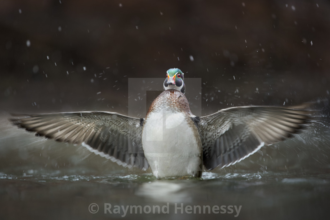 """""""Wood Duck Flapping"""" stock image"""