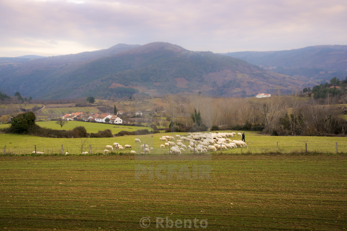 Shepherd and his sheep in Vinhais  - License, download or