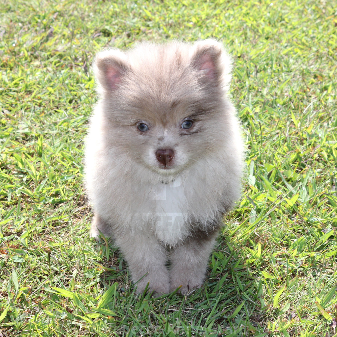 Chocolate Merle Pomeranian Puppy License Download Or Print For 9 74 Photos Picfair