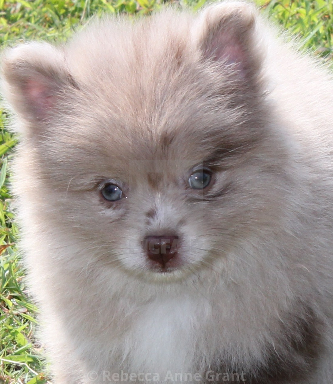 Just Look At Those Blue Eyes Chocolate Merle Pomeranian Puppy License Download Or Print For 9 74 Photos Picfair