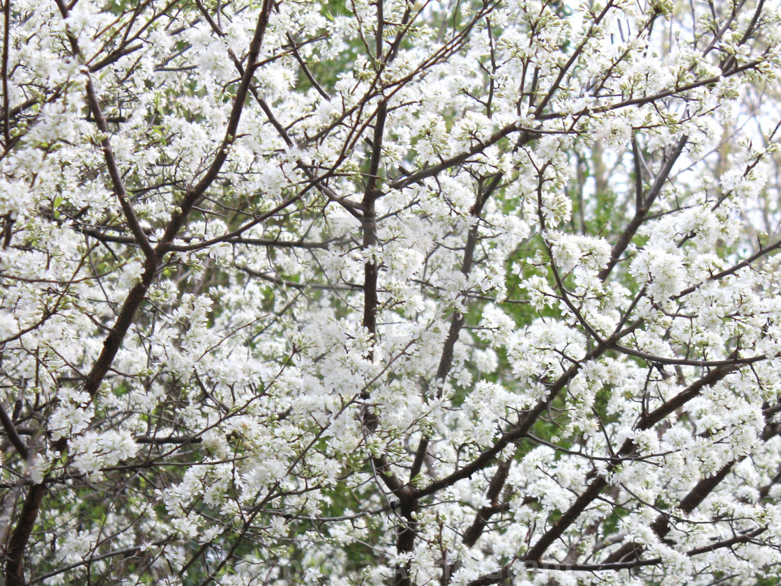 American Plum Tree White Flowering Blooms Early Spring