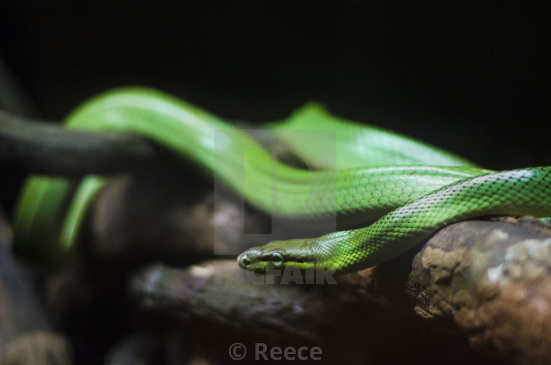 """Green Snake"" stock image"