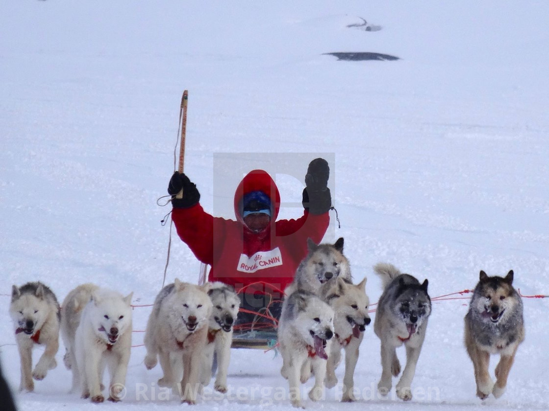 """Dog sled race"" stock image"