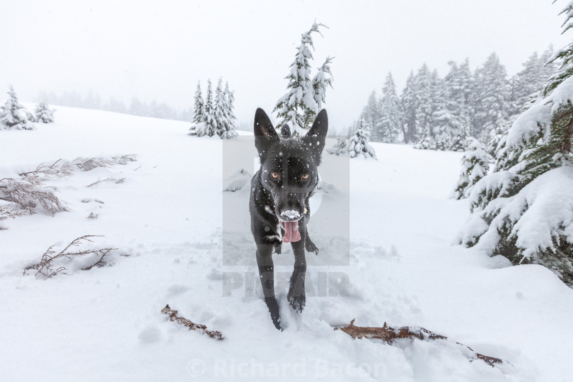 """Black Dog with Snowy Face"" stock image"