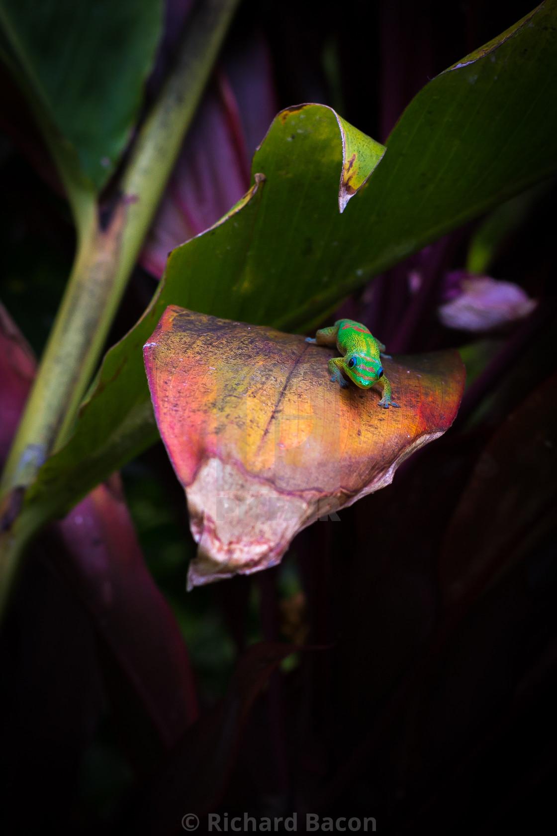 """""""Hawaiian Gecko"""" stock image"""