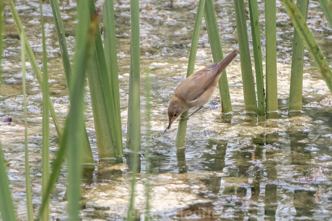"""Reed Warbler Catching Insects"" stock image"