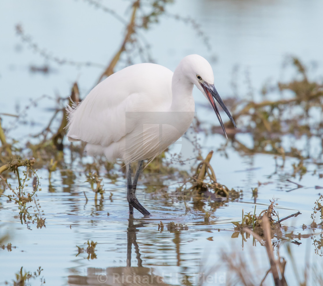 """Little Egret Hunting"" stock image"