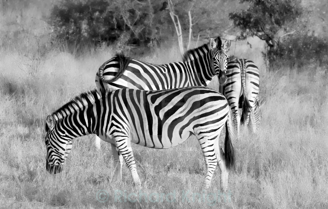 """Three Zebra"" stock image"