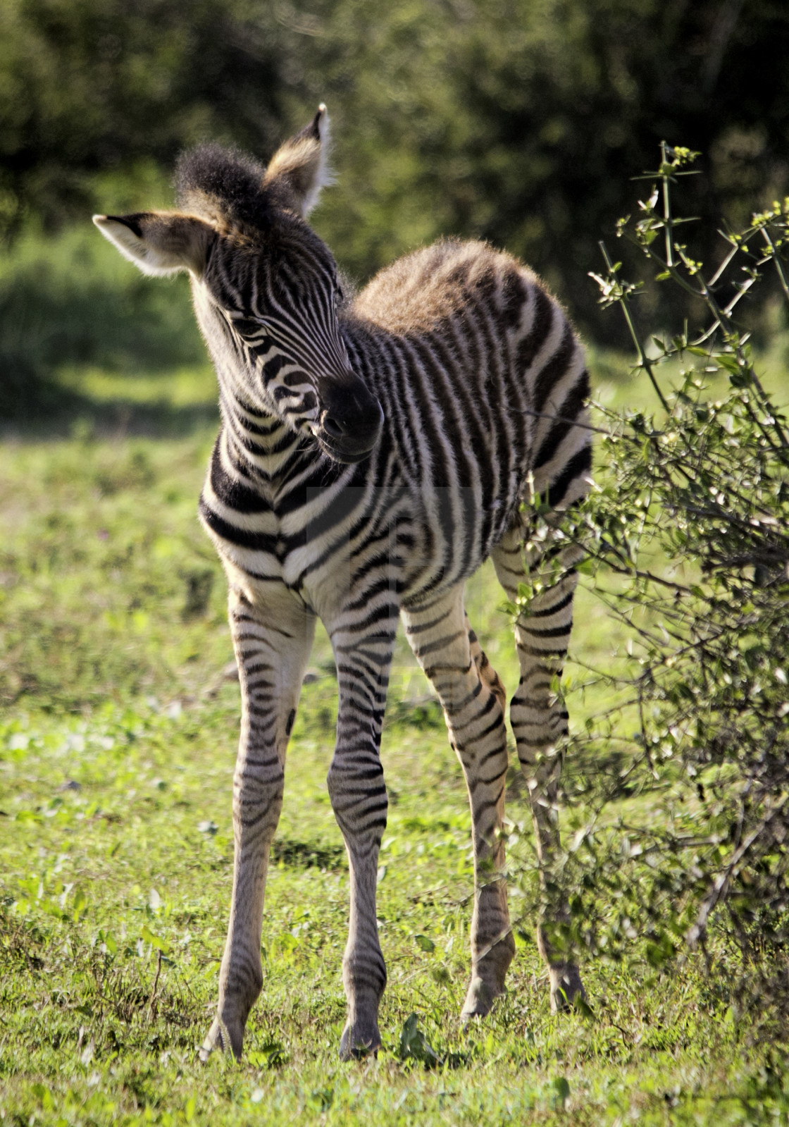 """Young Zebra"" stock image"