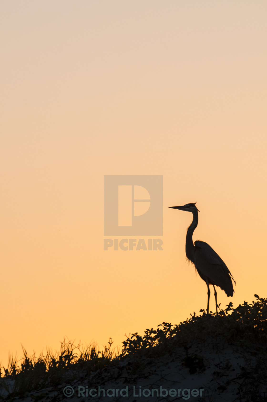 """Great Blue Heron Silhouette"" stock image"