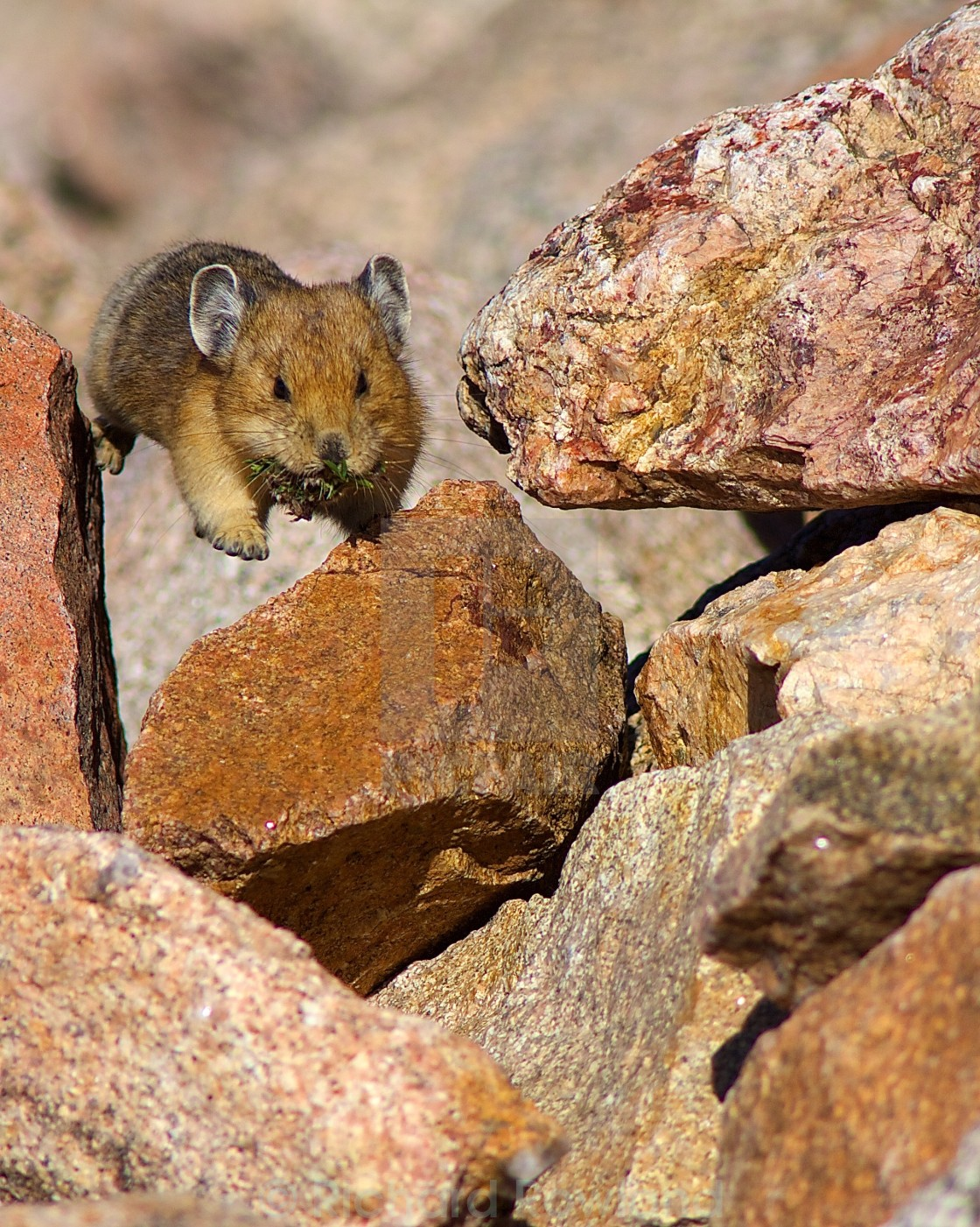 """Leaping Pika"" stock image"