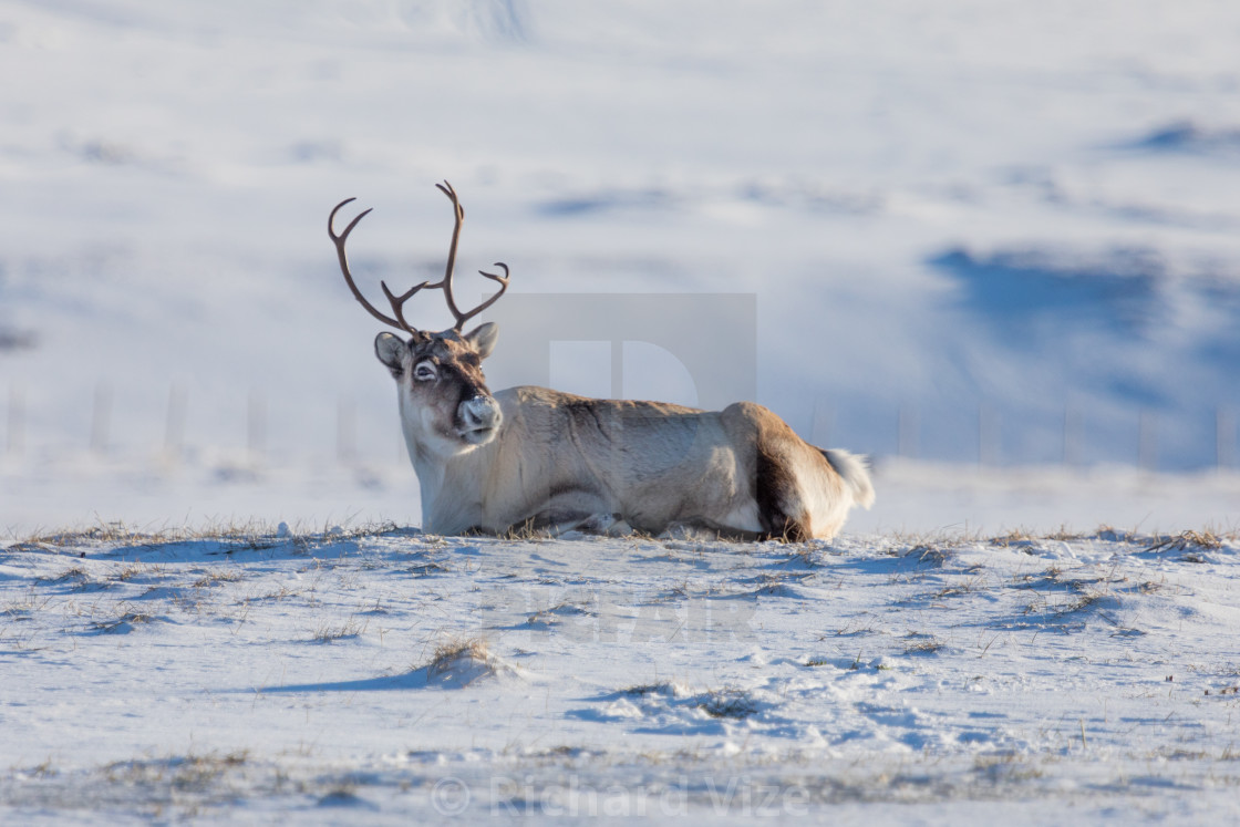 """Reindeer, Norway"" stock image"