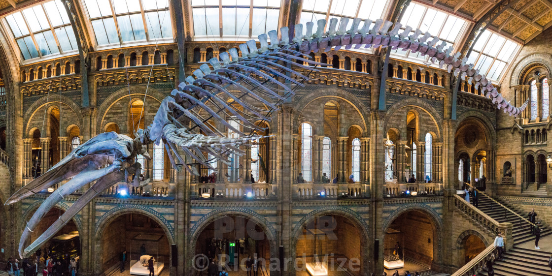 """Hope the Whale, a Blue Whale skeleton suspended from the roof of the Natural History Museum, London"" stock image"