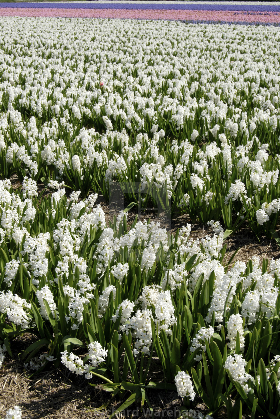 De Zilk Nr Lisse The Netherlands Fields Of White Hyacinths In The