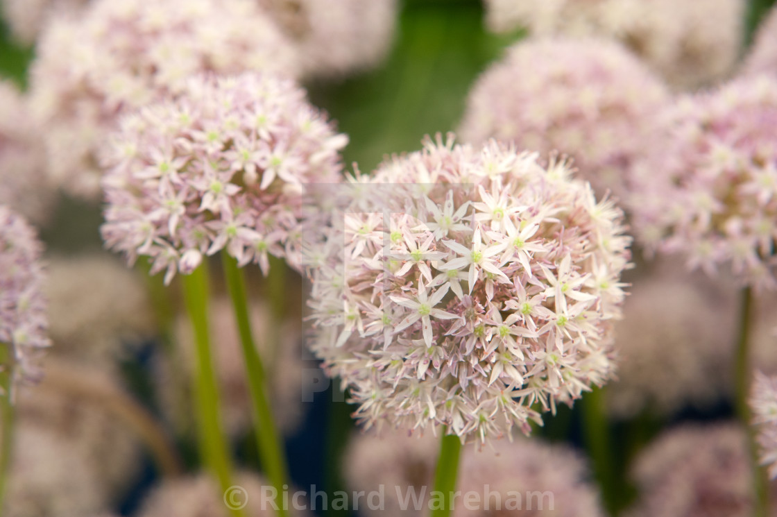 """Allium "" Marshmellow """" stock image"