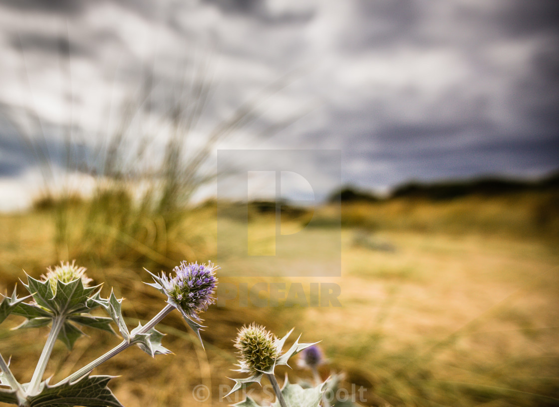 """Beach Thistle"" stock image"