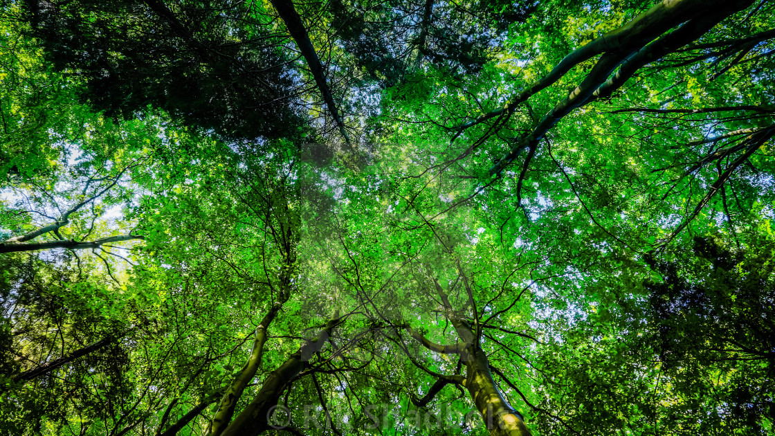 """Canopy of Trees"" stock image"