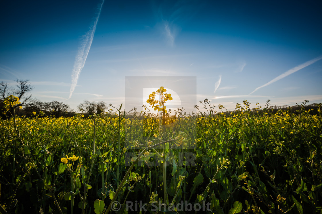 """Field of Sunlight"" stock image"