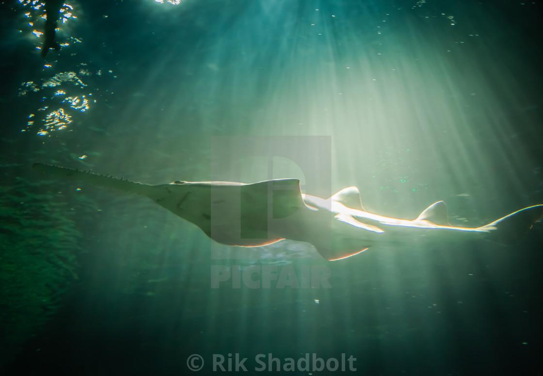 """""""Swordfish in Rays"""" stock image"""