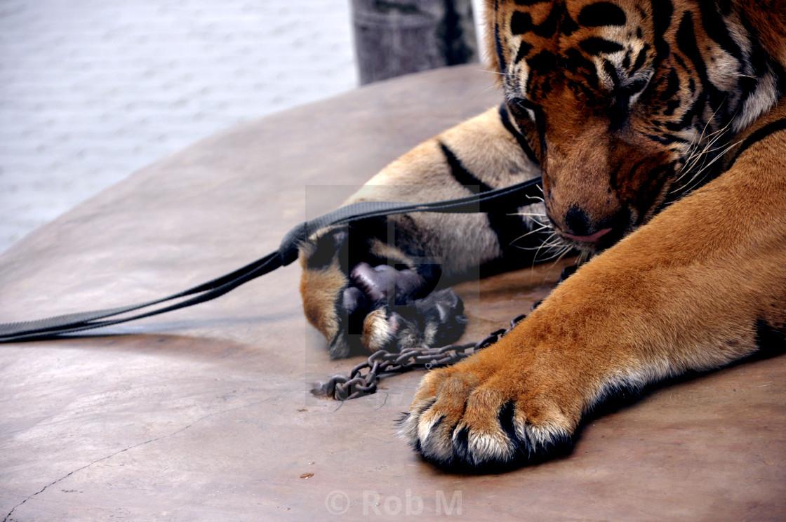 """Thai Tiger"" stock image"