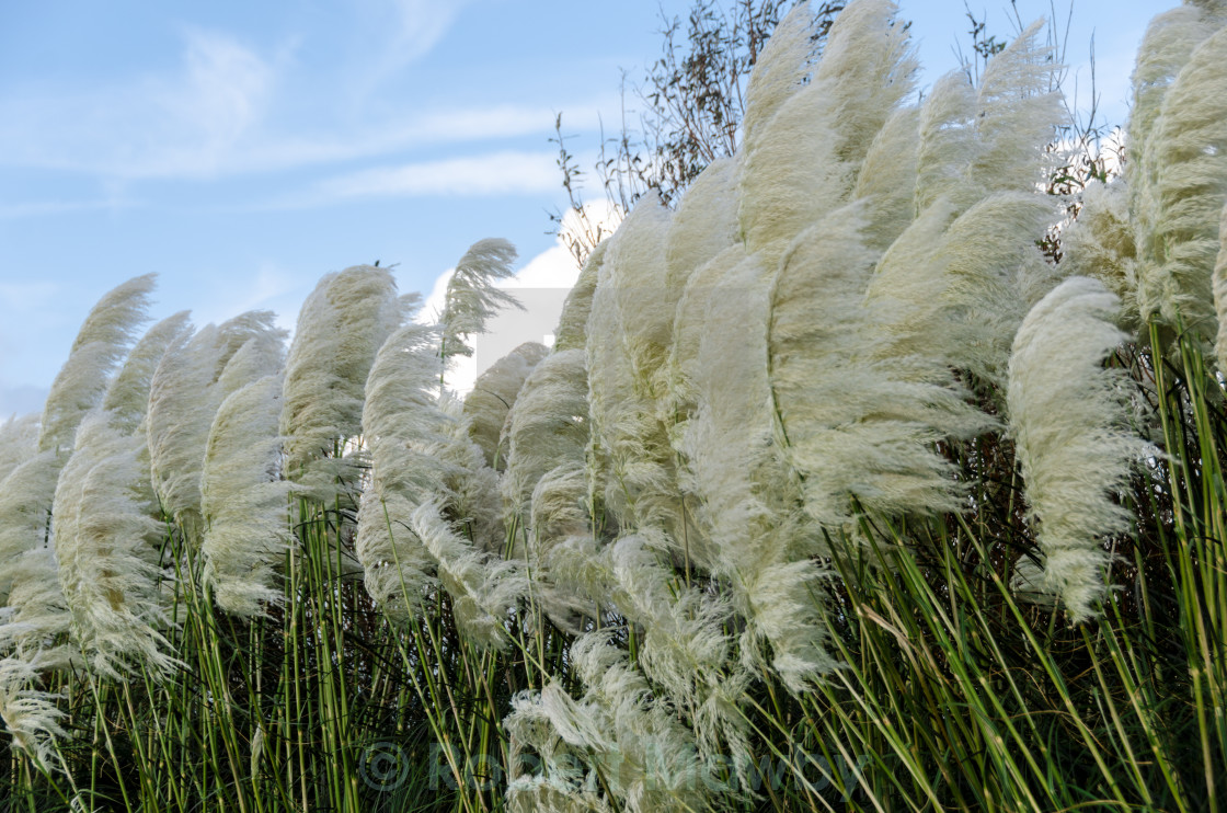 """""""Pampas Grass Blown by the Wind"""" stock image"""
