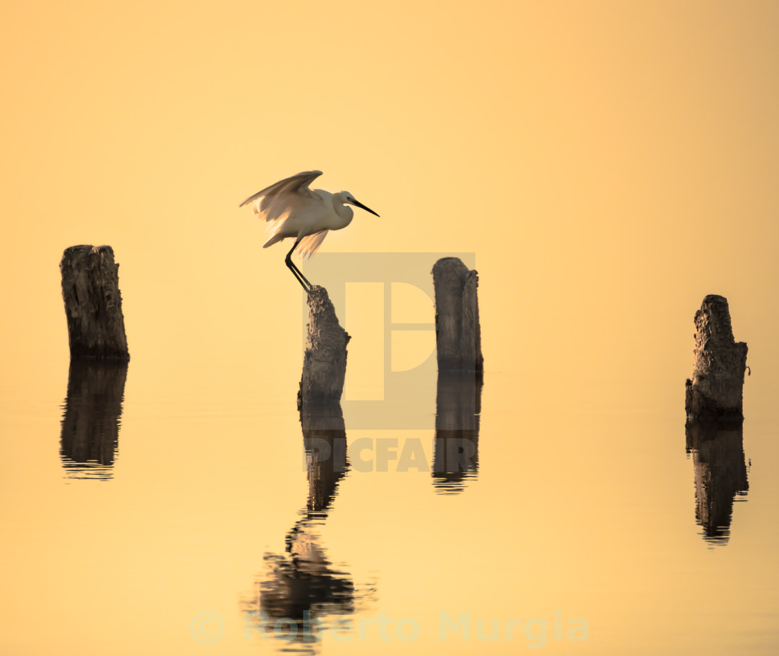 """egret wing"" stock image"