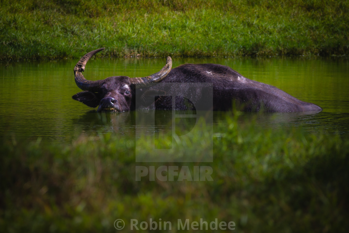 """Asiatic Water Buffalo"" stock image"