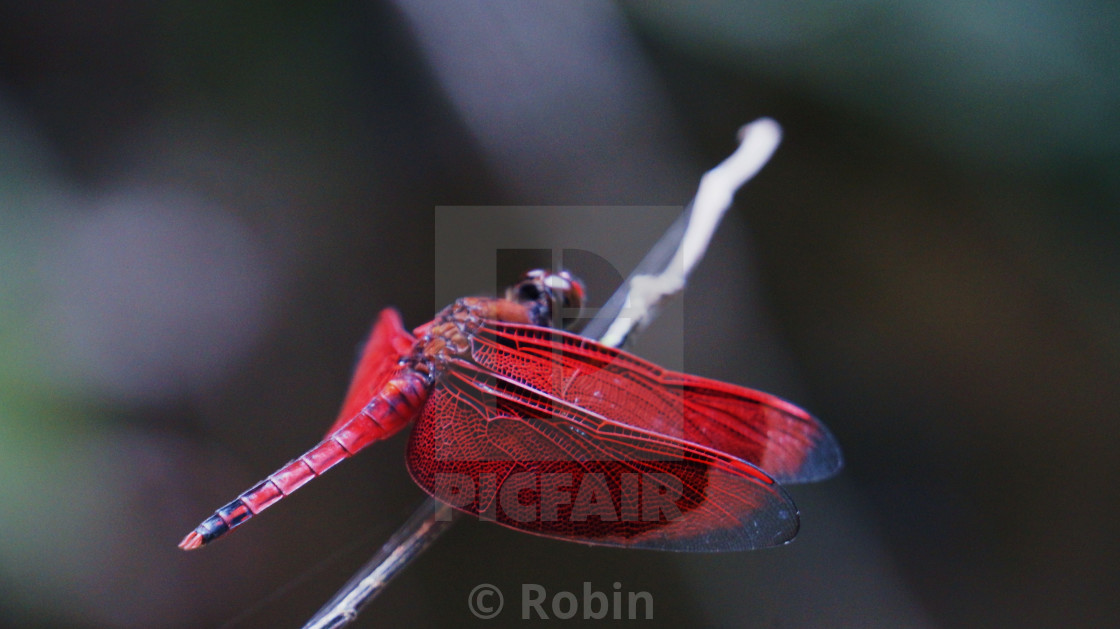 """Red Lace Dragonfly"" stock image"