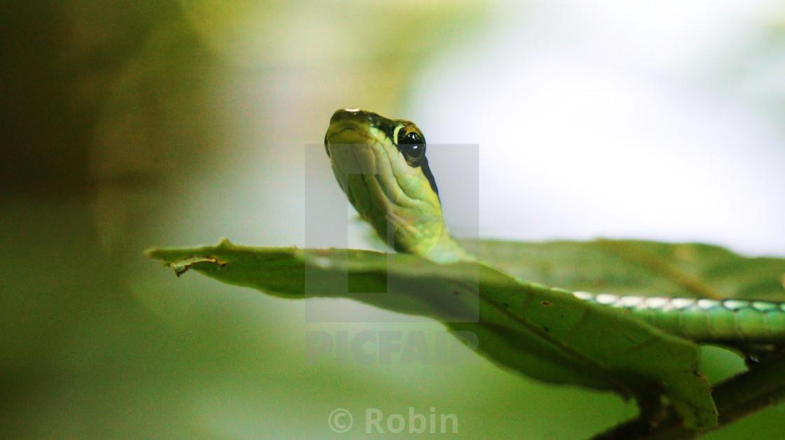 """Tree Snake"" stock image"