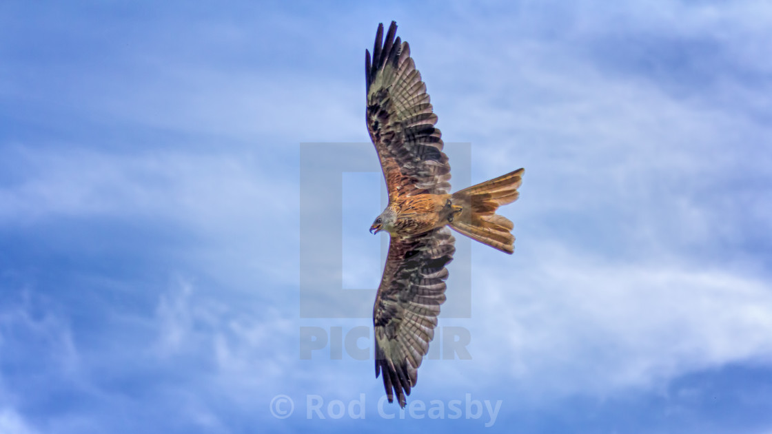 """Red Kite - Flying High"" stock image"