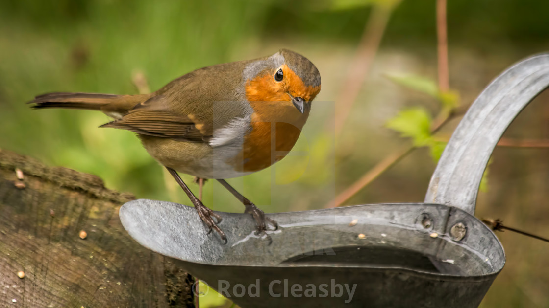 """Robin calls in for a drink"" stock image"