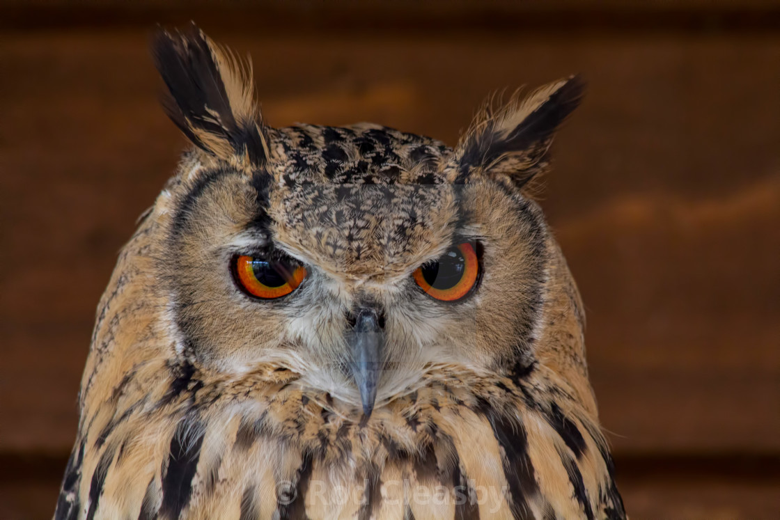 """Long Eared Owl - At home to roost"" stock image"