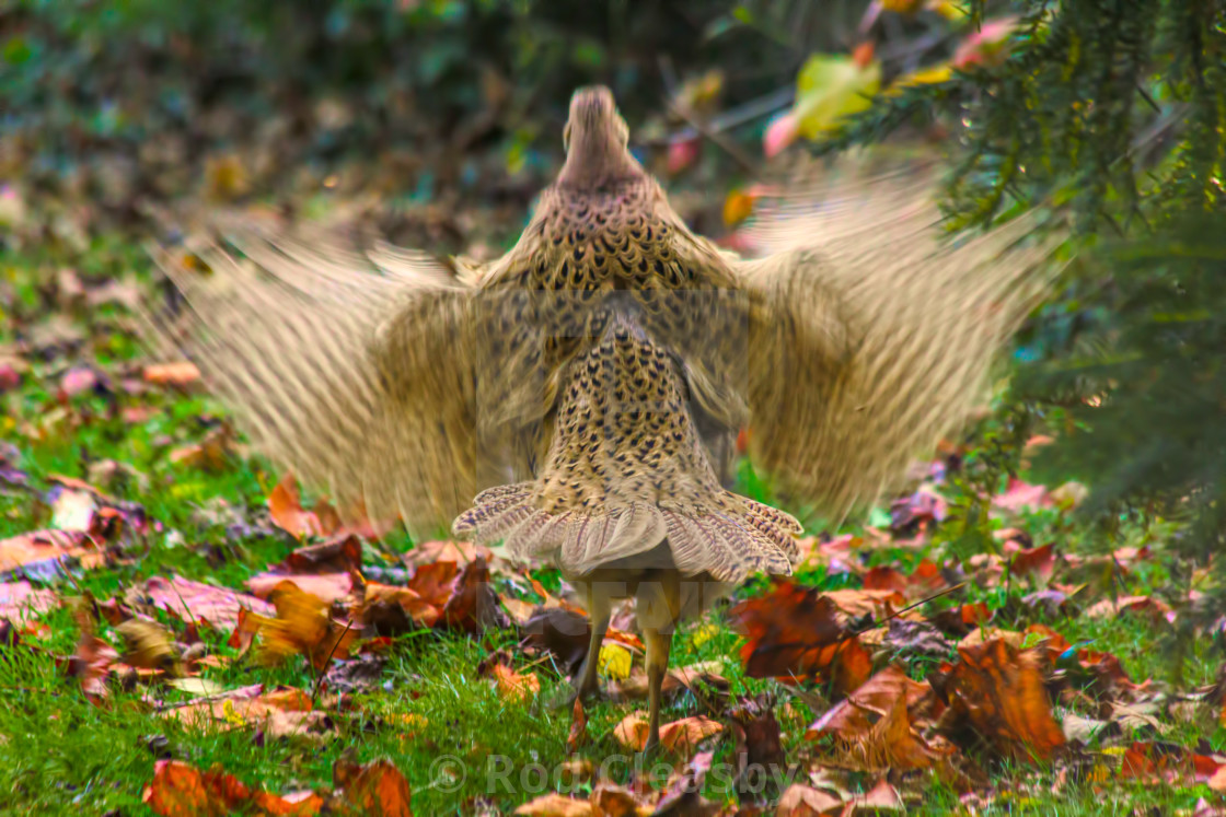 """Pheasant in a flap - Autumn English Garden"" stock image"