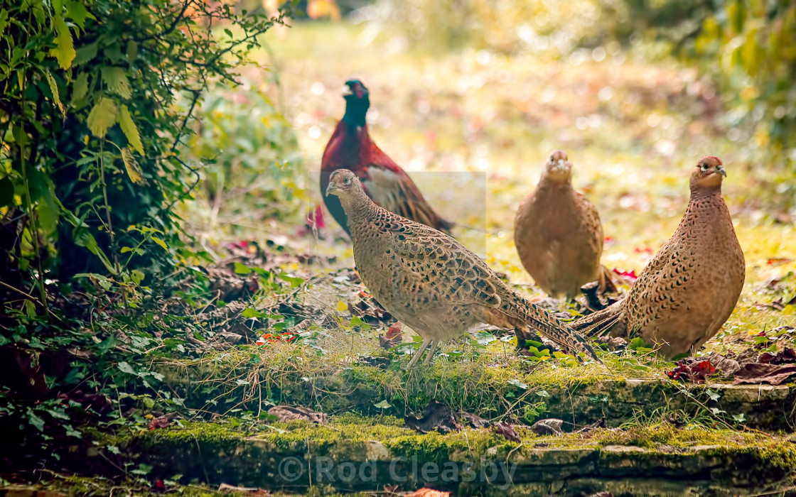 """""""Group of Pheasants - Hiding from the Shoot"""" stock image"""