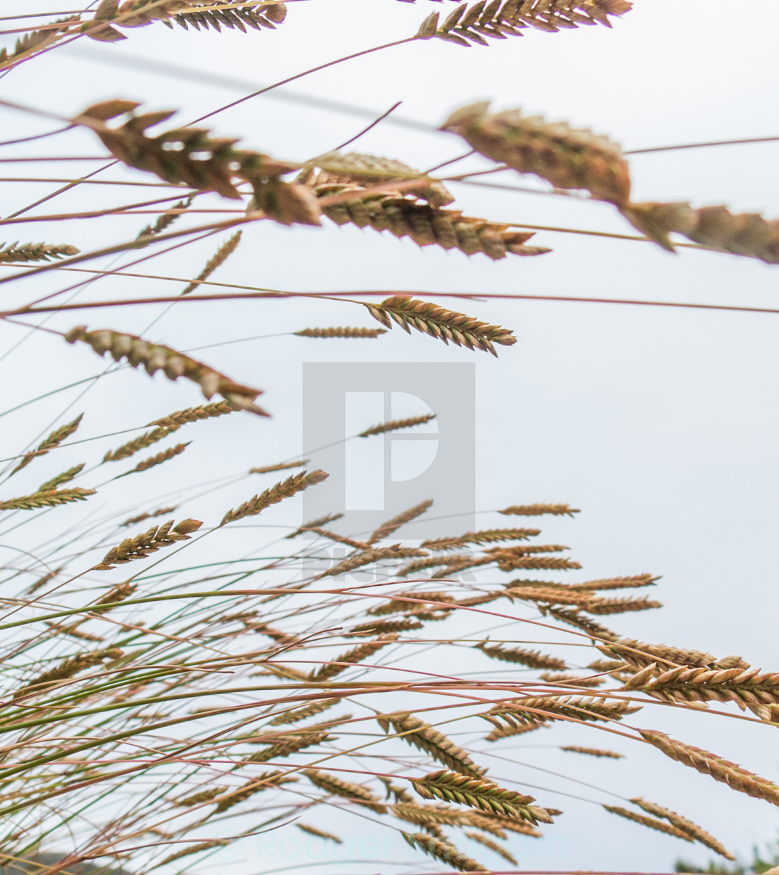 """""""Tall grass blowing in the wind"""" stock image"""