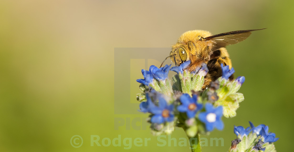 """Bee collection pollen"" stock image"