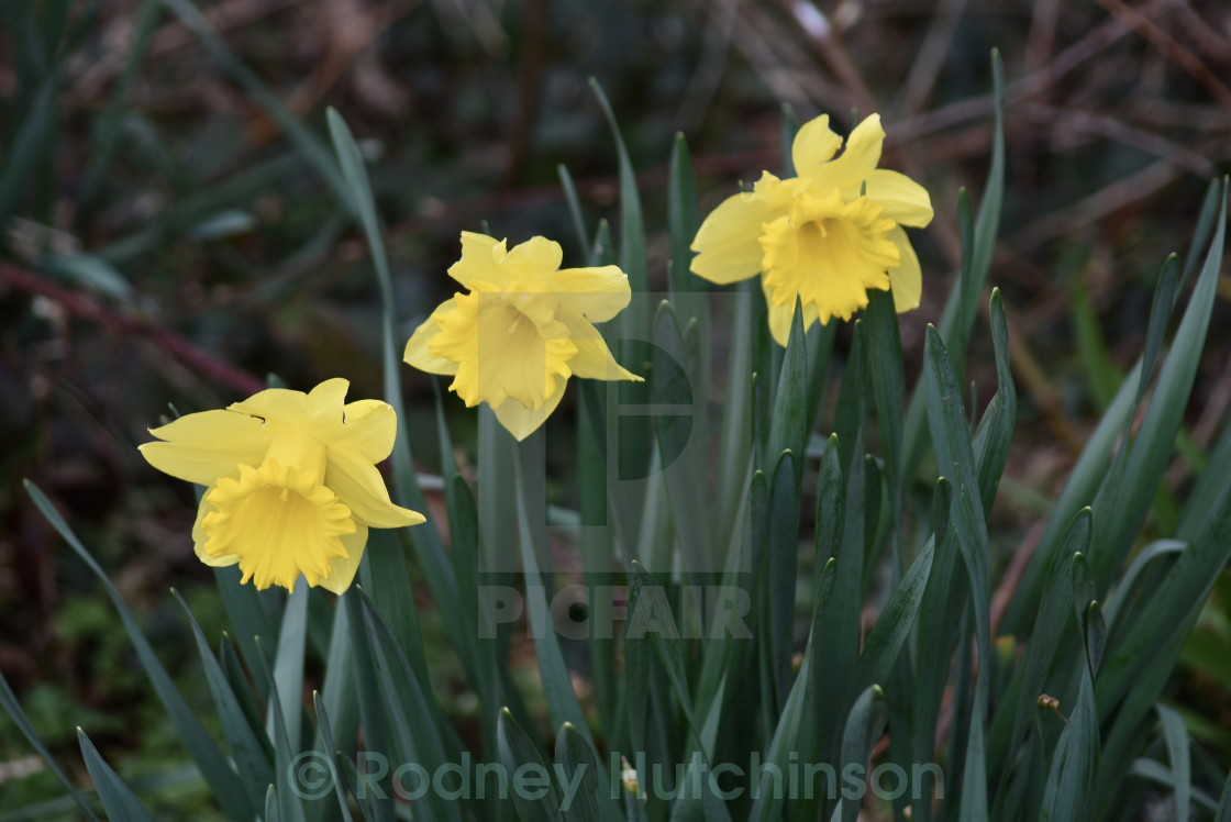 """Wild Daffodils"" stock image"
